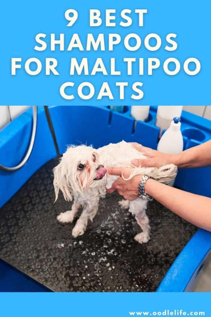 best shampoo for maltipii