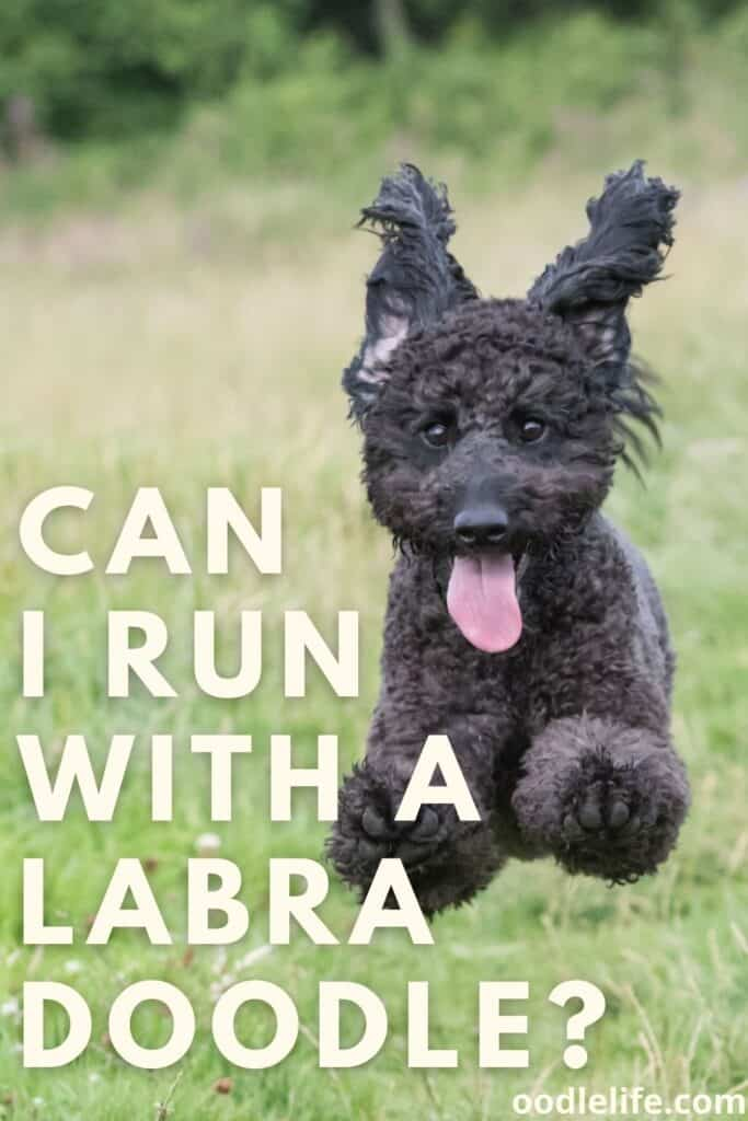 can I run with a labradoodle