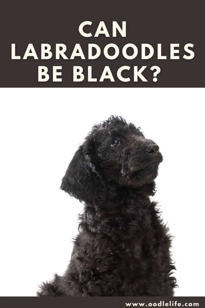 can labradoodles be black