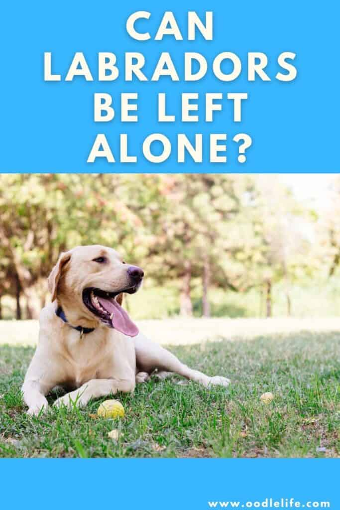 can labradors be left alone