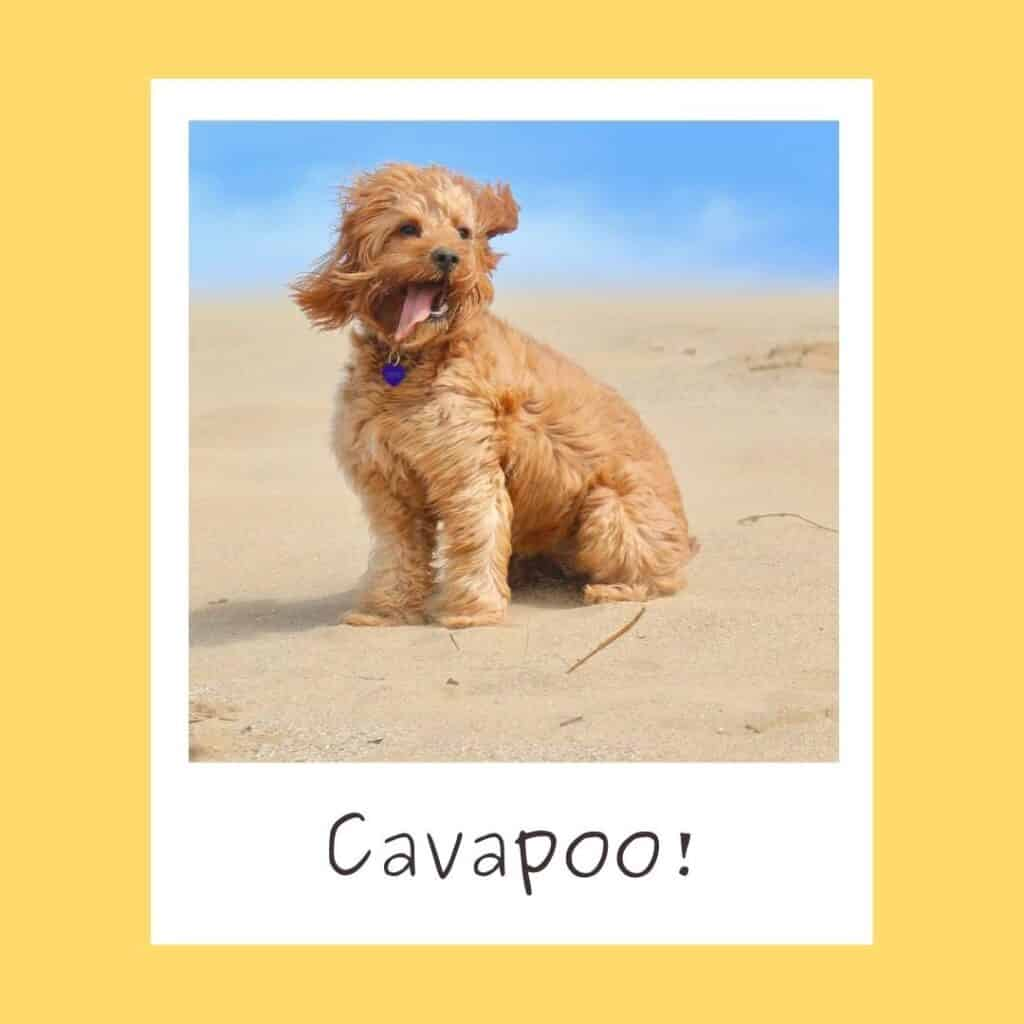 cavapoo being hyper at the beach