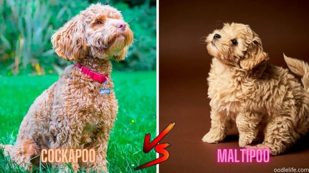 cockapoo vs maltipoo breed comparison