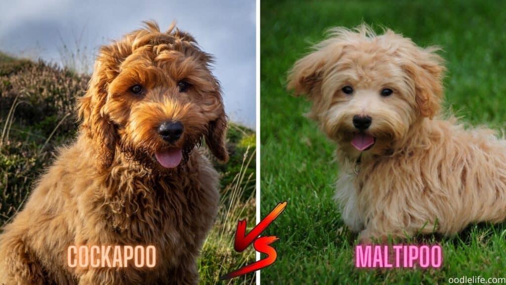 cockapoo vs maltipoo puppy size