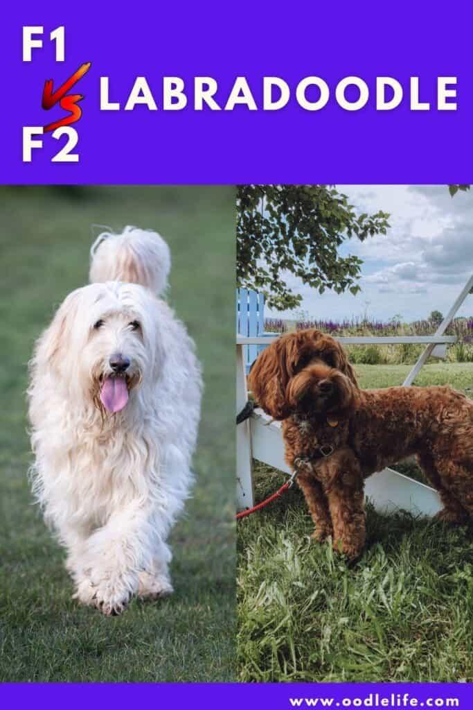 f1 vs f2 Labradoodle