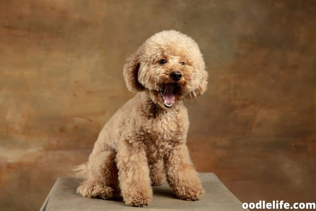 maltipoo puppy smiling