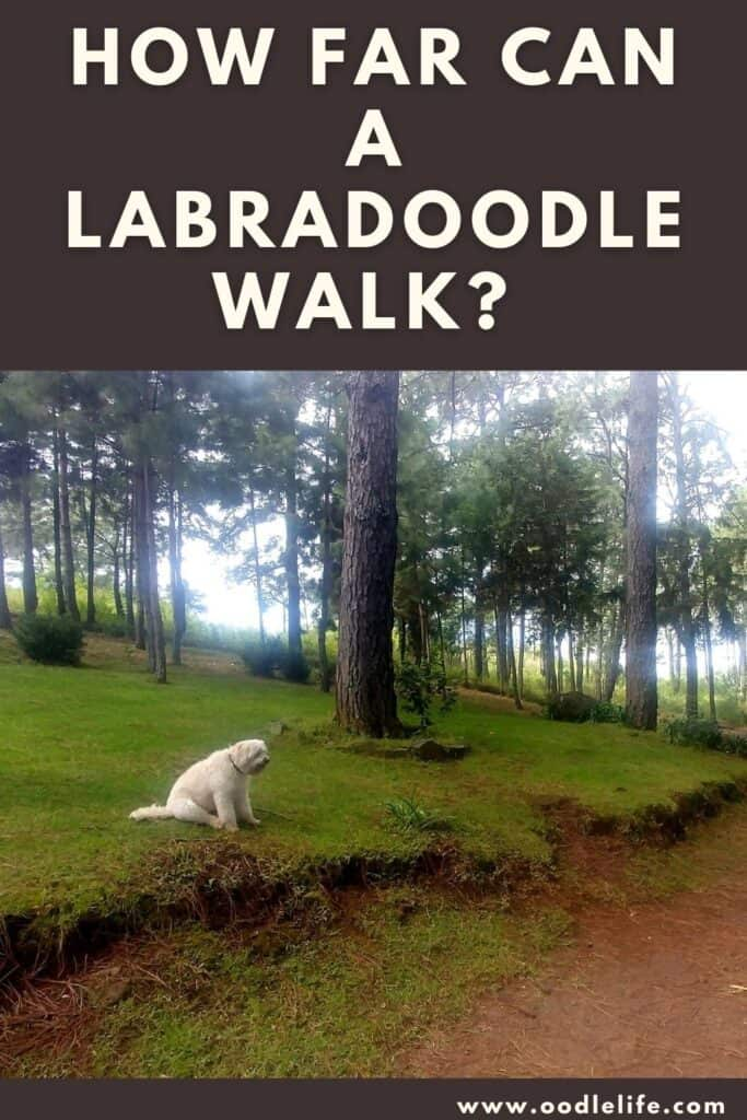 how far can a Labradoodle walk