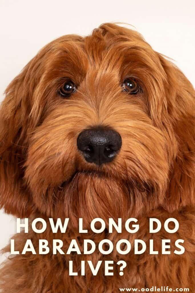 how long do labradoodles live