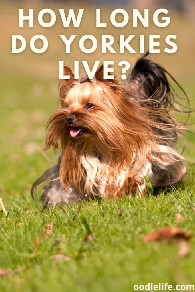 how long do yorkies live