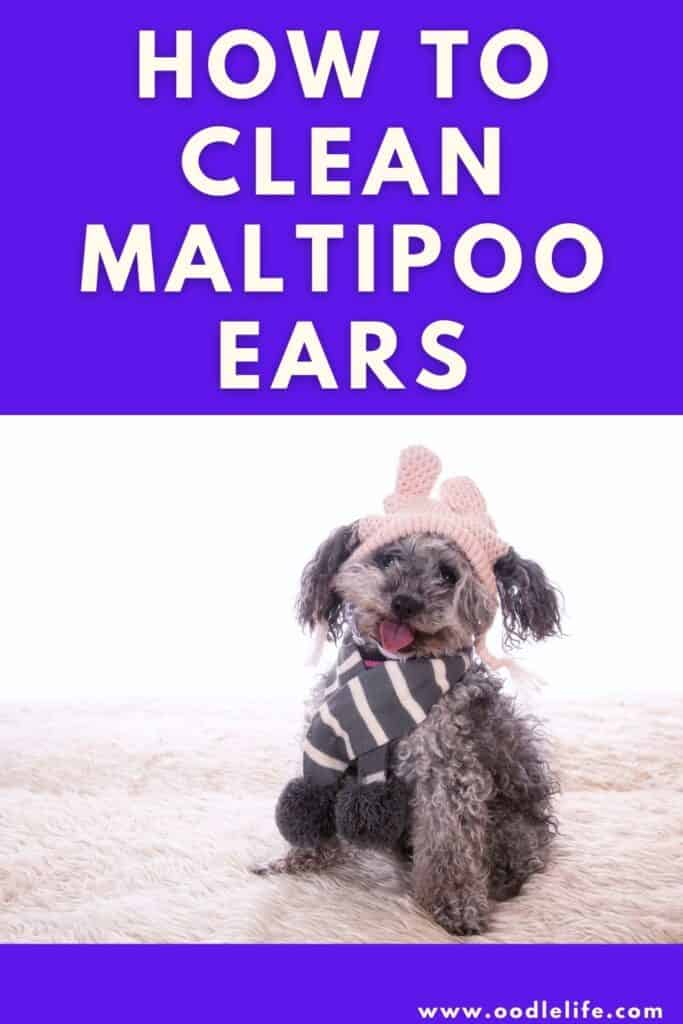 how to clean maltipoo ears