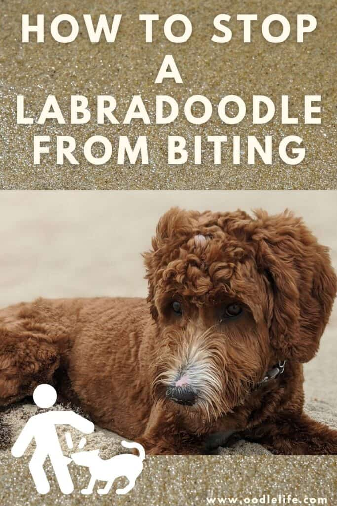 how to stop a labradoodle from biting