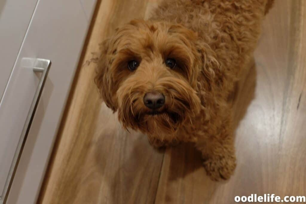 labradoodle looks up at camera
