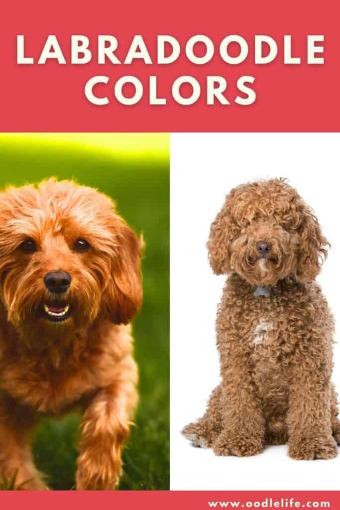 labradoodle colors