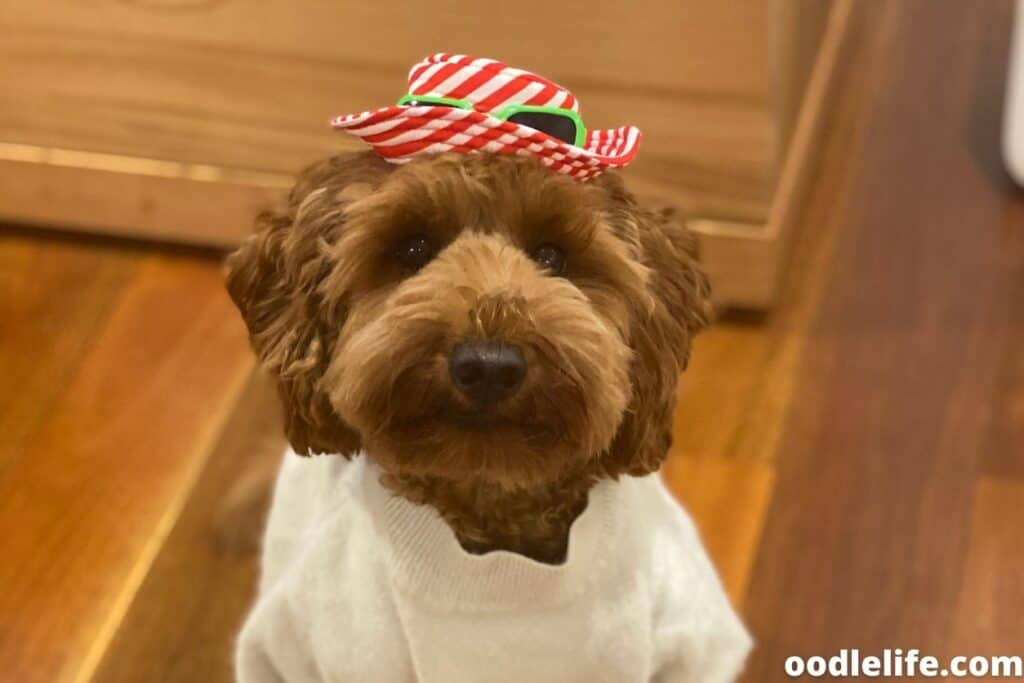 labradoodle in party hat