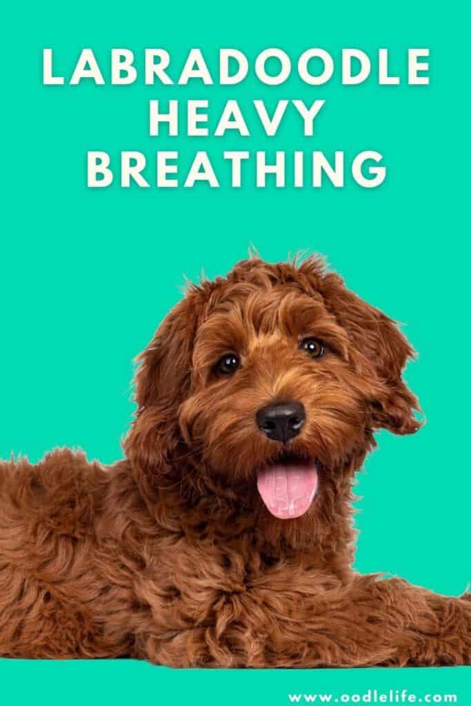 labradoodle heavy breathing