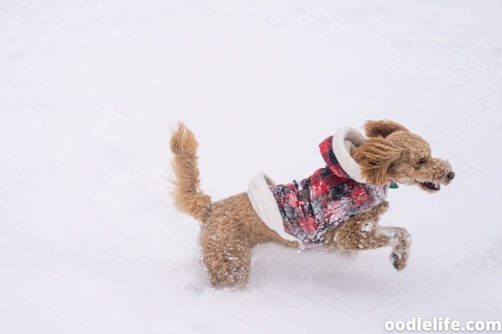 labradoodle running in the snow