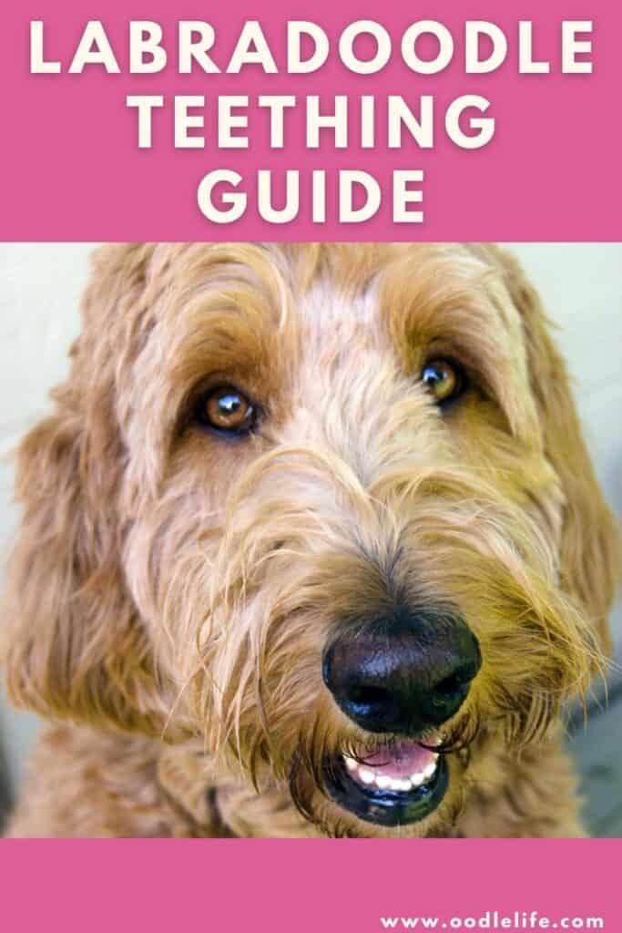 labradoodle teething guide