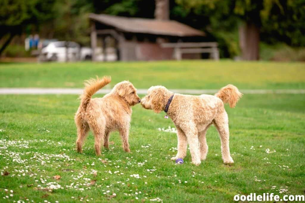 two labradoodles in the dog park