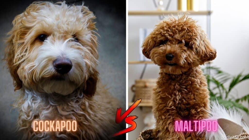 wavy coat maltipoo vs cockapoo