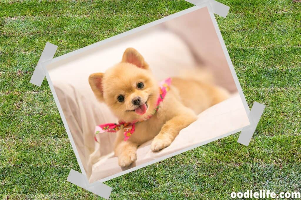 some pomeranians are very small