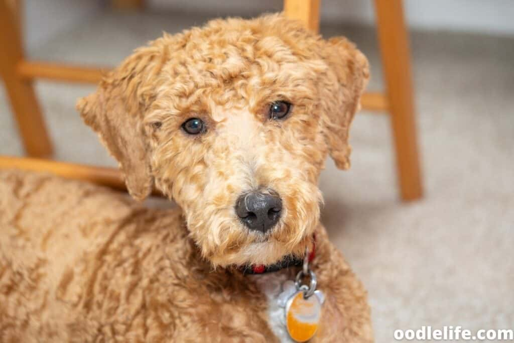 recently shaved Labradoodle