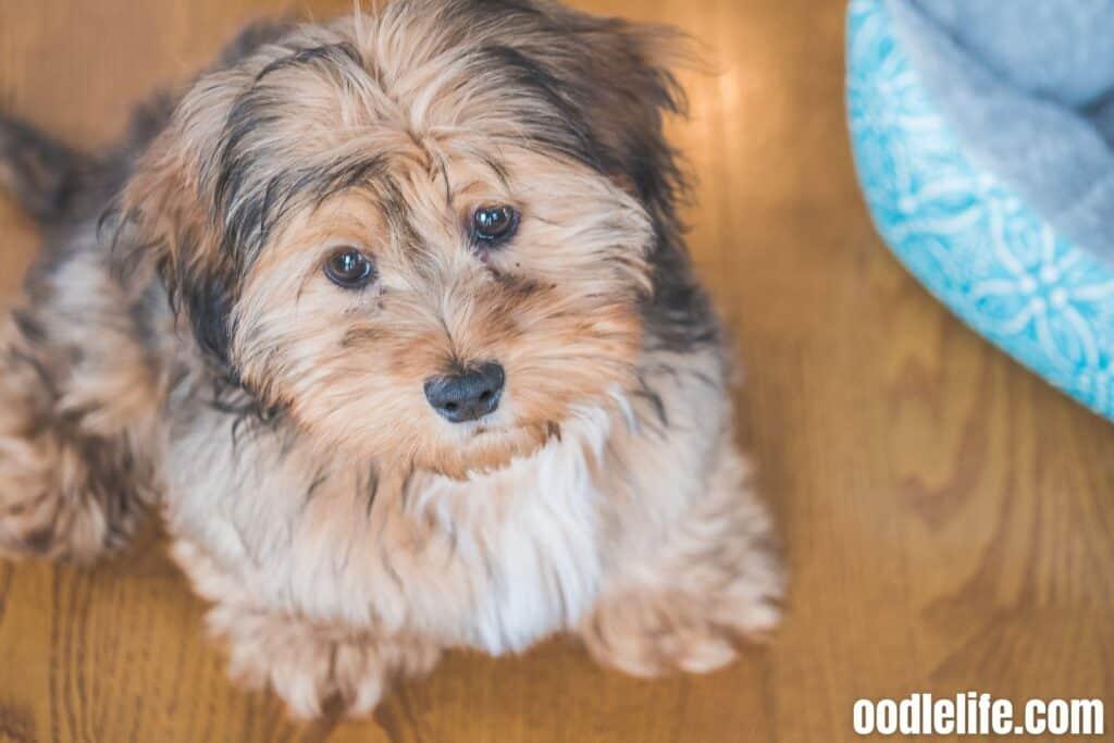 a cute shih poo puppy