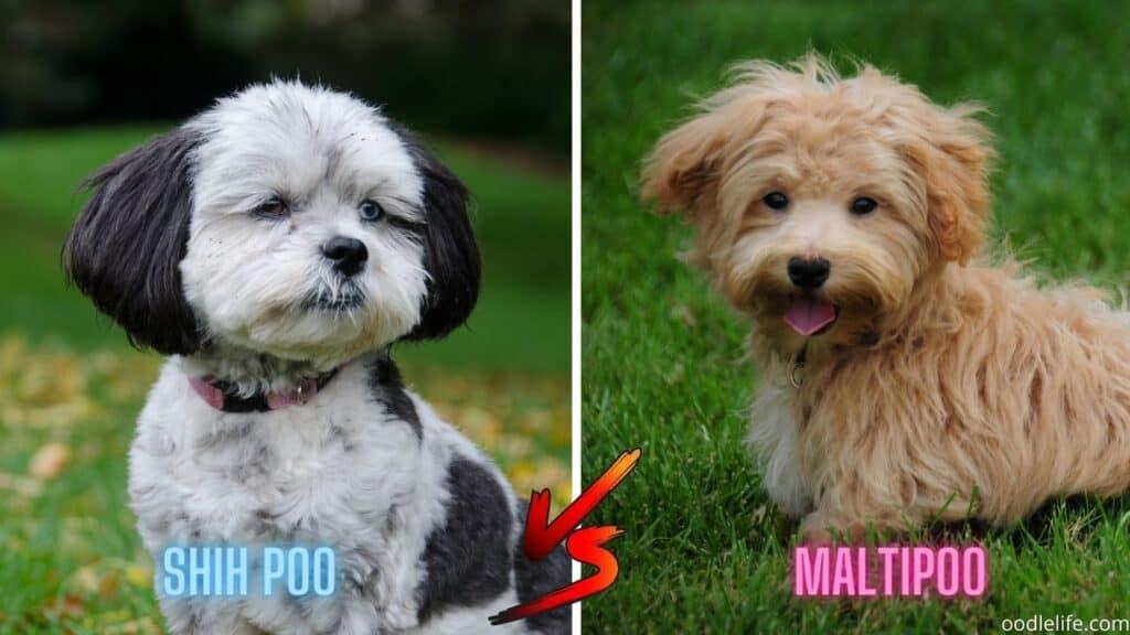 tiny shih poo and maltipoo dogs