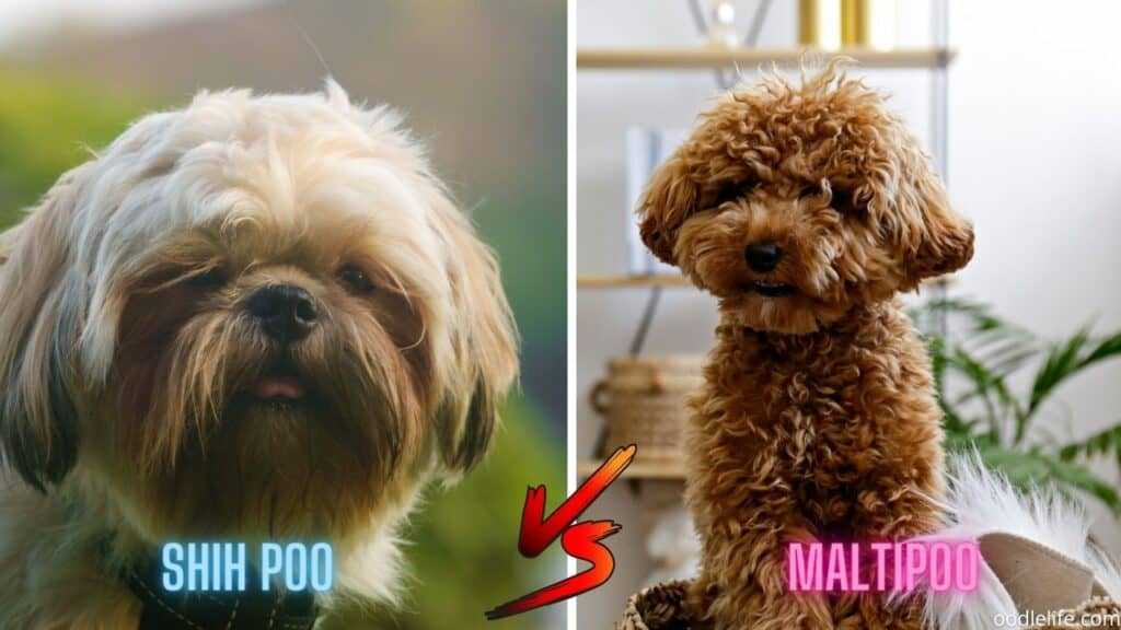 shih-poo vs maltipoo face