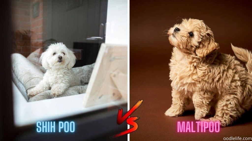 shih poo vs maltipoo size