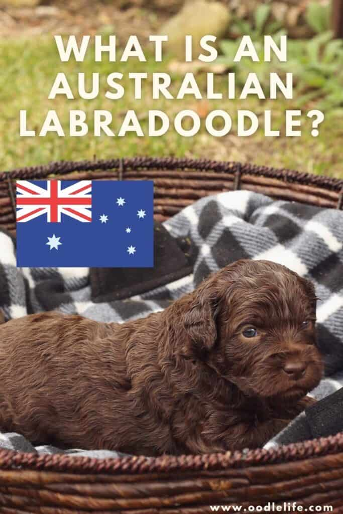 what is an australian labradoodle