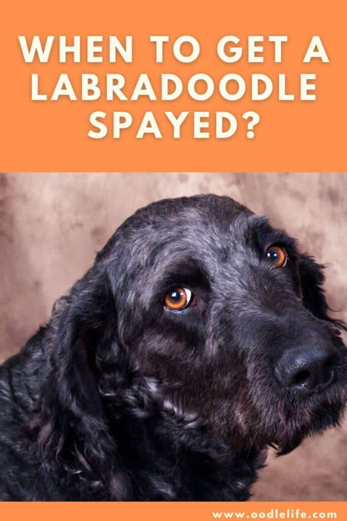when to get a labradoodle spayed
