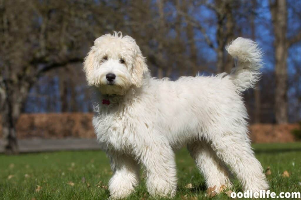 long haired white wavy labradoodle