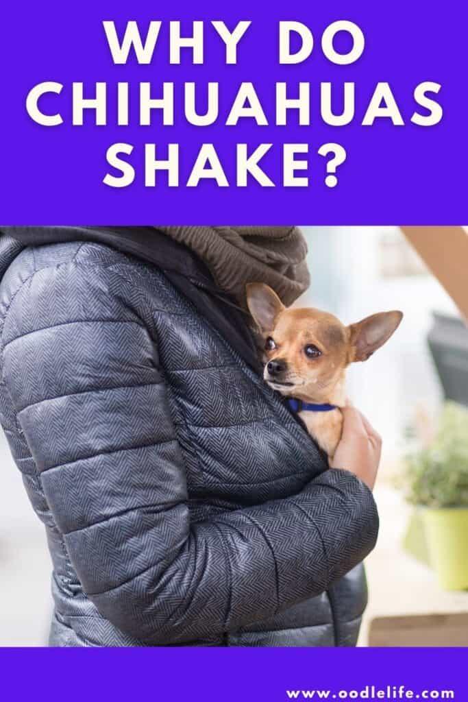 why do Chihuahuas shake