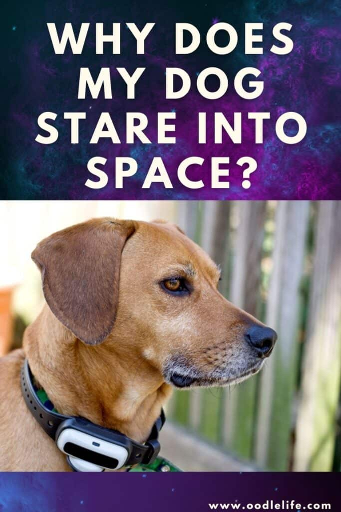 why does my dog stare into space