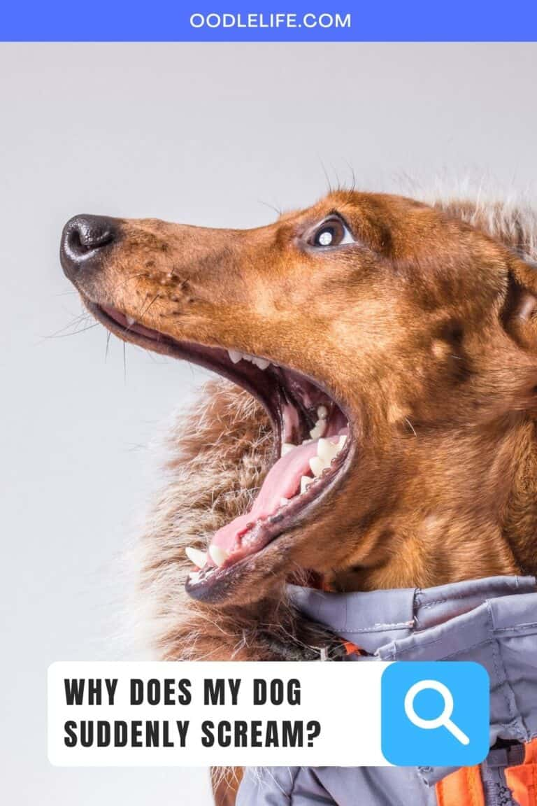 Why Does My Dog Suddenly Scream