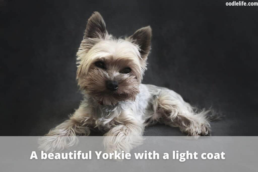 beautiful yorkie puppy
