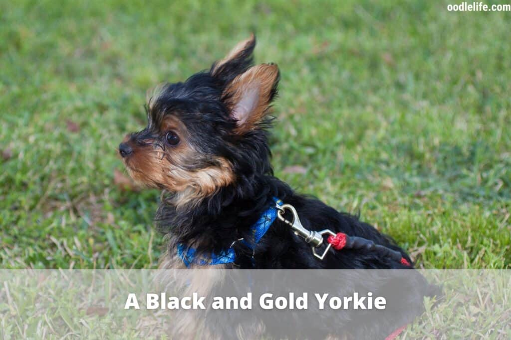 black and gold yorkie