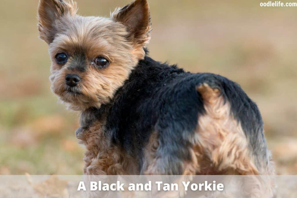 black and tan yorkie
