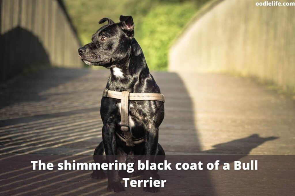 a black bull terrier