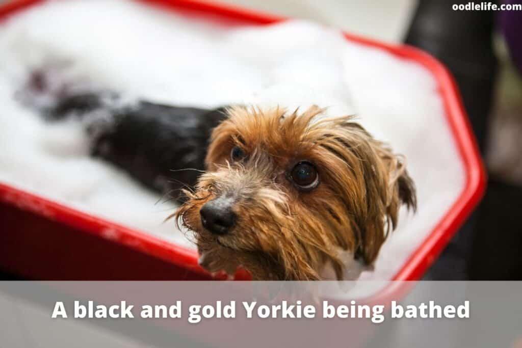 black and gold yorkie has bath