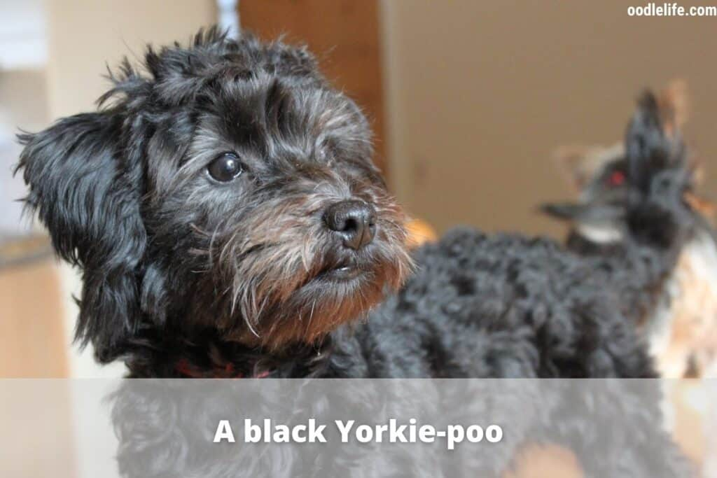an all black yorkie poo