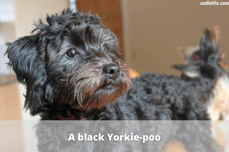 How Long Do Yorkiepoos Live? [Yorkiepoo Lifespan]