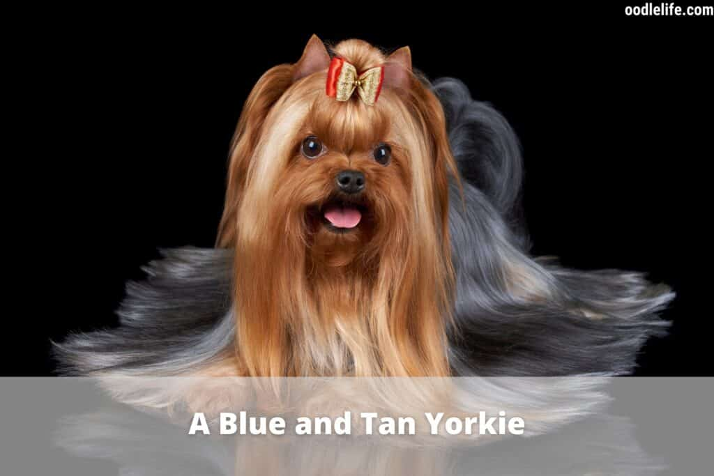 blue and tan yorkie