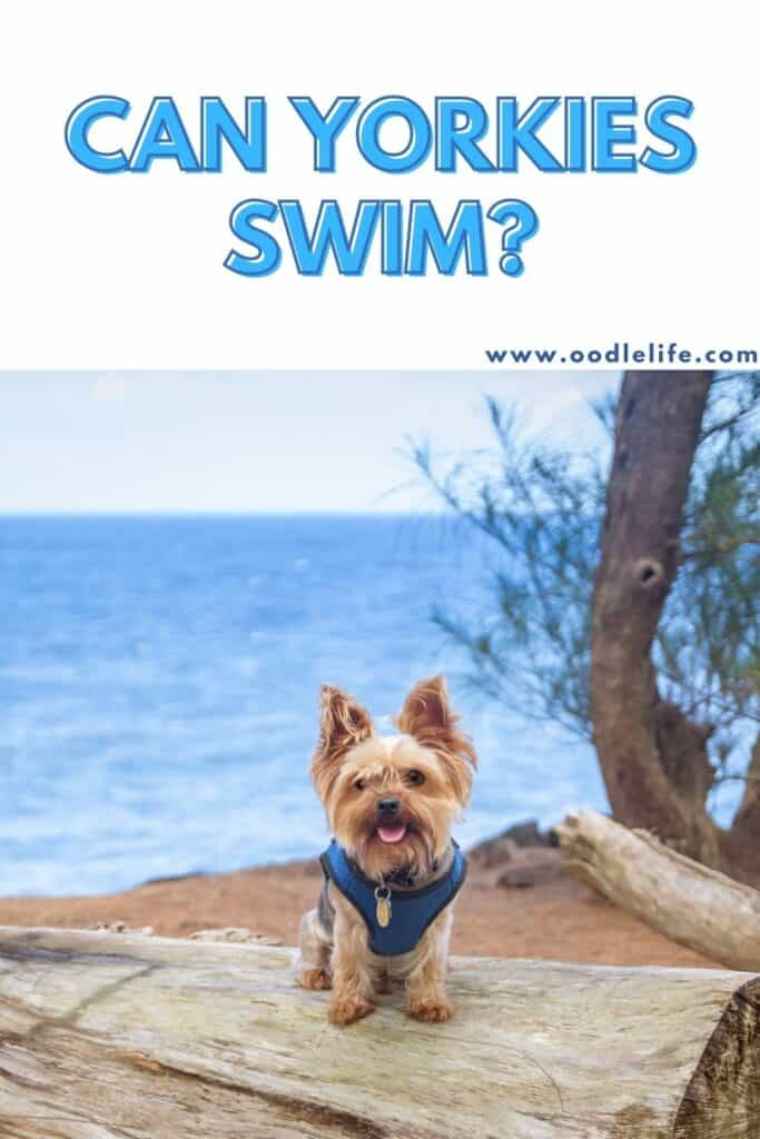 can yorkies swim