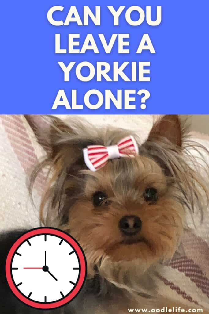 can you leave a yorkie alone`