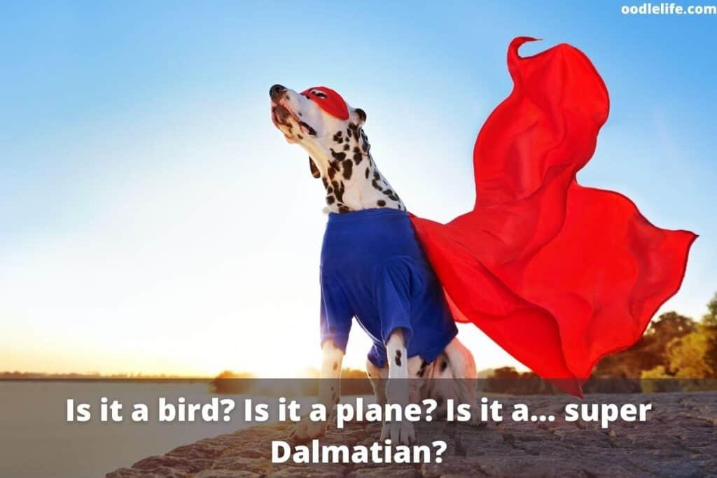 dalmatian super hero dog