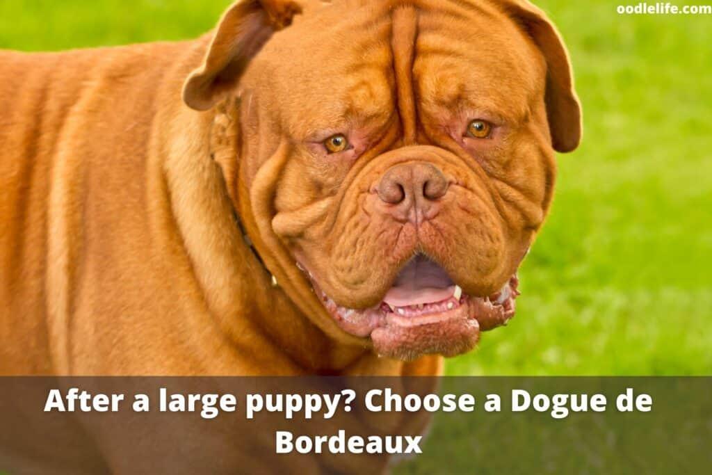 giant dogue de bordeaux