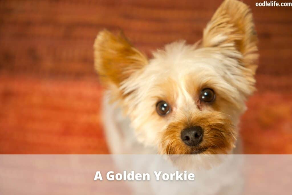 golden yorkie