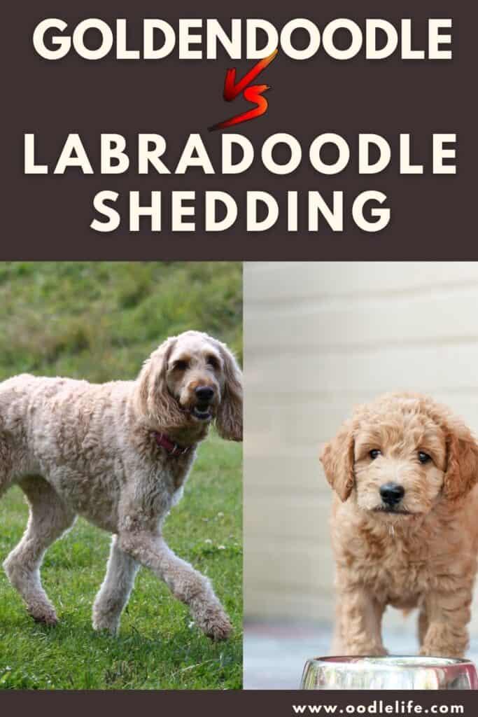 labradoodle vs goldendoodle shedding