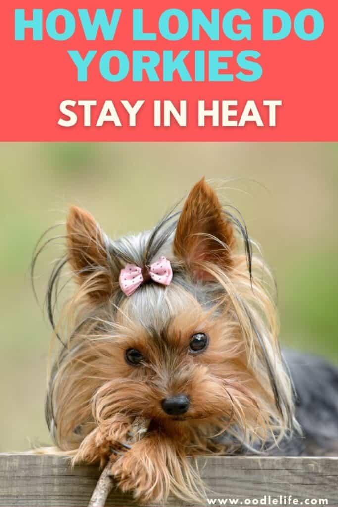 how long do yorkies stay in heat
