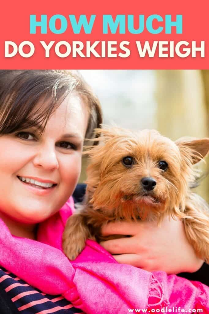 how much do yorkies weigh